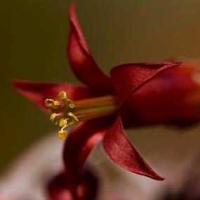Red Aloe by Lian van den Heever - Flowers Single Flower ( red aloe )