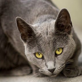 Pac by Sead Kazija - Animals - Cats Portraits ( russian blue, animals, cat, portrait, animal )