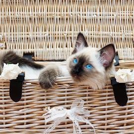 Ragdoll Kitten  by Debbie Bowers - Animals - Cats Kittens ( ragdoll, pedigree, kitten, adorable, cute )