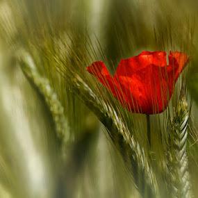 Poppy and wheat by Radu Eftimie - Flowers Single Flower ( field, wild, wheat;, poppy,  )