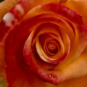 Snakeshell by Lian van den Heever - Flowers Single Flower ( rose, red, single, petals, snakeshell )