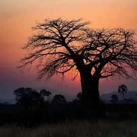 Sunrise in Ruaha by VAM Photography - Landscapes Sunsets & Sunrises ( nature, tree, ruaha, sunrise, landscape )