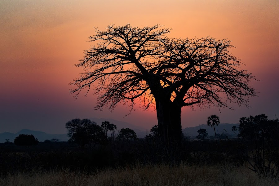 Sunrise in Ruaha by VAM Photography - Landscapes Sunsets & Sunrises ( nature, tree, ruaha, sunrise, landscape,  )