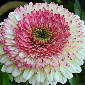 Scarlet... by Pradeep Kumar - Flowers Single Flower