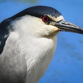 by Ken Wade - Animals Birds ( black-crowned night heron, nycticorax nycticorax )