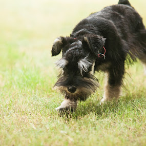 Dog on Field by Vorravut Thanareukchai - Animals - Dogs Playing ( playing, field, grass, green, schnauzer, dog, black, miniature )