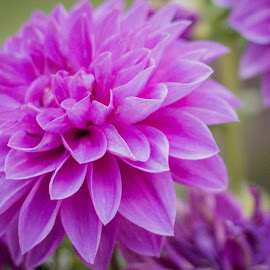Big Blooms by Melissa Belflower - Novices Only Flowers & Plants ( bloom, flowers, buds, spring, dahlia )