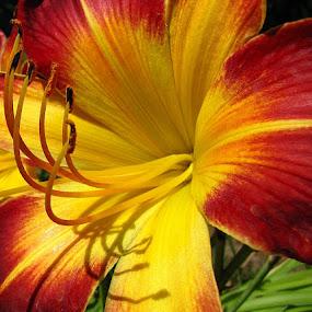 Yellow & Orange Daylilly by Diane Butler - Nature Up Close Flowers - 2011-2013 ( orange, daylilly, yellow, garden, flower )