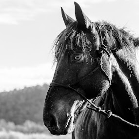 A young stallion, chiselled by golden light.  by Laurie King - Animals Horses ( stallion, queensland, australia, luke, shadows, black )