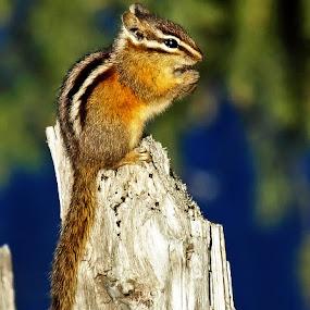 Chipmunk by Diana Treglown - Animals Other Mammals ( chipmunk )