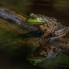 Frog on a log by Shutter Bay Photography - Animals Amphibians ( frog, reflection, nature, nature up close, water,  )
