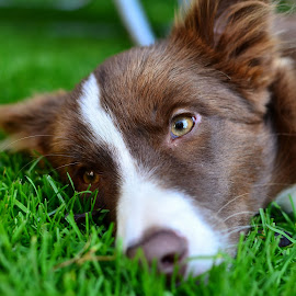 Počitek 2 by Bojan Kolman - Animals - Dogs Portraits