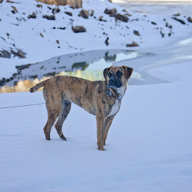 Maddie at Salmon Run by Carolyn Symes - Animals - Dogs Portraits ( reflection, winter, boxer, snow, dog, serious )