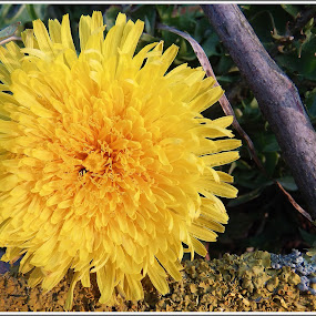 Gyermekláncfű by Zlatko Sarcevic - Flowers Single Flower ( dandelion, tavasz, virág, gyermekláncfű, makró,  )