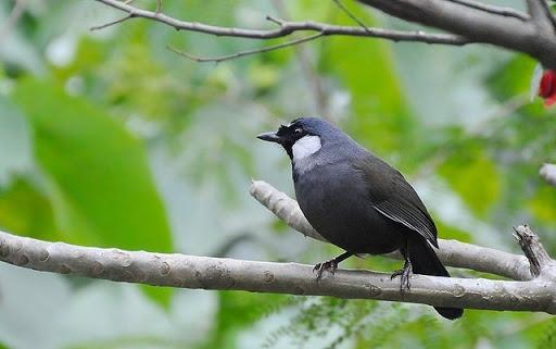 Hướng dẫn tự làm thức ăn chim khướu