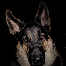 Apache at Night by Dawn Vance - Animals - Dogs Portraits ( german shepherd, dog, black and tan, animal )