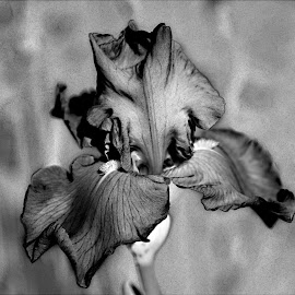 An Iris in Black and White by Sherry Hallemeier - Black & White Flowers & Plants ( black and white, iris, close up, garden, floral, flower,  )