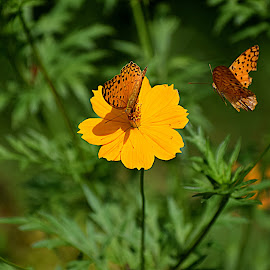 the Chase... by Vivek Sharma - Flowers Flowers in the Wild ( vivekclix, wild, butterfly, nature, vivek, beauty in nature, flower )
