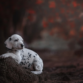 by Geraldine Enslin - Animals - Dogs Puppies ( portraiture, spots, spotted, dalmatian )