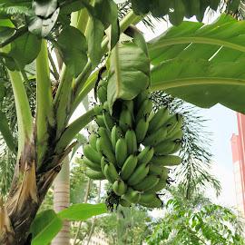 Banana Tree by Dennis Ng - Nature Up Close Gardens & Produce