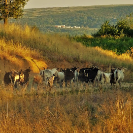 Countryside life by Nicoleta Gradinaru - Landscapes Prairies, Meadows & Fields ( goats, countryside, shepherd )
