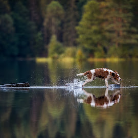 Gotta go by Ole Walter Sundlo - Animals - Dogs Playing ( playing dog, dogs, running dog, cocker spaniel, dog portrait, welsh springer spaniel, dog )