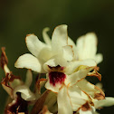 Orthochilus orchid