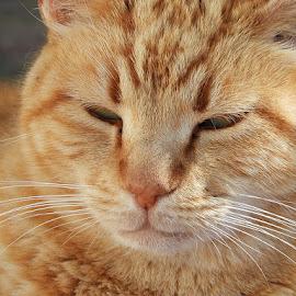 Ginger by Hoosain Harneker - Animals - Cats Portraits ( ginger, cat, animal, portrait, pet )
