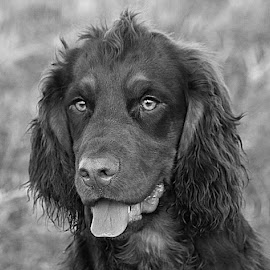 Dax in Grey by Chrissie Barrow - Black & White Animals ( monochrome, tongue, black and white, cocker spaniel, pet, ears, fur, grey, dog, mono, nose, portrait, eyes, animal,  )