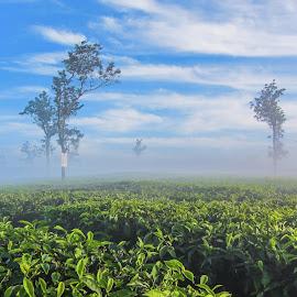 Tea plantations by Andreja Novak - Landscapes Travel ( travel, landscape, plantation,  )