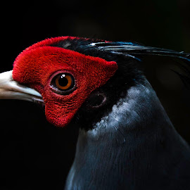 The Red Mask by Paulo Peres - Animals Birds ( bird, tulsa, animals, red, zoo )