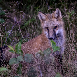 Visitor at work by Harold Bradley - Animals Other ( beautiful, forest, color, in the wild, foxes, female, pups, wild, fox, male, colorful, wildlife )