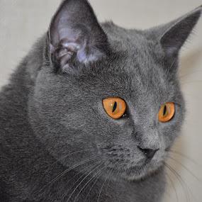 Joconde de Ventadour by Isabelle Ebens - Animals - Cats Portraits ( cat, chartreux, amber, portrait,  )