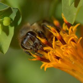 Bee on an Orange flower by Adriette Benade - Animals Insects & Spiders ( orange, bee, macro photography, nature close up, bees, orange flower, macro, nature, nature up close, nature photography, bee on flower, honeybee, flower, honey bee )