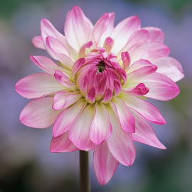 Red & White Dahlia by Jim Downey - Flowers Single Flower ( red, pink, white, blue, yellow )
