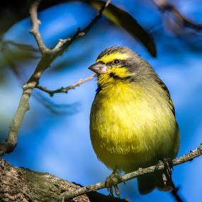 Just a little birdie  by Johann Bekker - Animals Birds