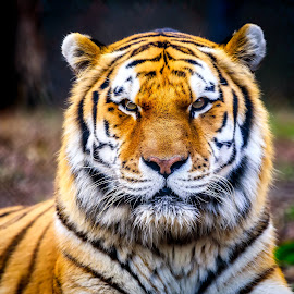 Tiger by John Sinclair - Animals Lions, Tigers & Big Cats ( big cats, nature, tiger, wildlife )