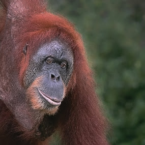 orangutan by Brothers Photography - Animals Other Mammals ( mammals, wild, animals, ape, wildlife, orangutan, mammal, animal,  )