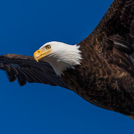 Close Flyby by Kevin Esterline - Animals Birds ( bird, wild, eagle, fly, wildlife, bald,  )