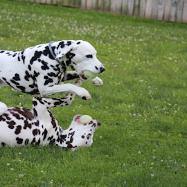 by Jackie Mcilhenny - Animals - Dogs Playing