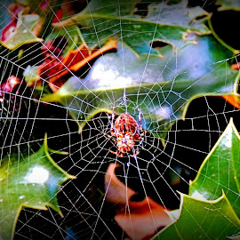 Decorating The Holly by Becky Luschei - Nature Up Close Webs ( holly, orb web, spider, decorating, halloween )