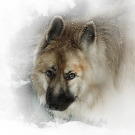 There are Wolves among us by Wayne Brown - Animals - Dogs Portraits ( long haired, pet, pets, snow, kimberley, weather, long, german shepherd, dog, haired )