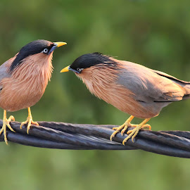 Story teller by Mrinmoy Ghosh - Animals Birds