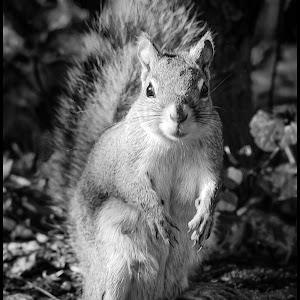 Red Squirrel-18.jpg