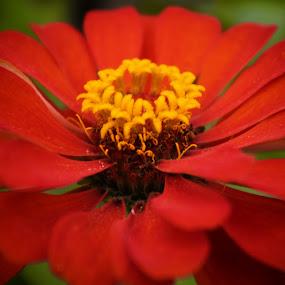 zoom red by Dahlia Putri - Flowers Single Flower ( red flower, single flower, macro photography, flower )