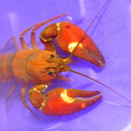 Pincher Pincher Pincher by Jodie Lindbo - Animals Other ( water, nature, color, bucket, crawdad, close up )