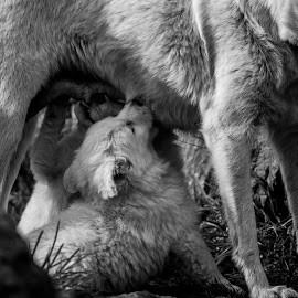 Moment by Kevin Navis - Animals - Dogs Running ( wallpaper, feeding, dogs, black and white, family )