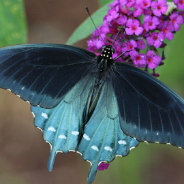 Black Beauty by Ron Walker - Animals Insects & Spiders ( macro, nature, swallowtail butterfly, flowers, insects, black butterfly )