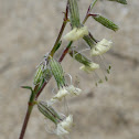 Forked Catchfly