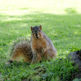 Waiting for Peanuts by Darlene Pavek - Animals Other ( wild, fur, squirrel, animal )